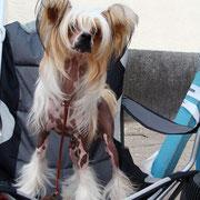 китайская хохлатая собачка Bibiana Vittoria dell Amore выставка Винница