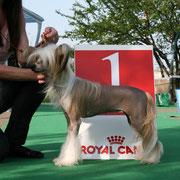 китайская хохлатая собачка Bibiana Vittoria dell Amore выставка Ильичевск