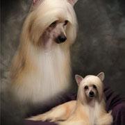 китайская хохлатая собачка (Powderpuff)