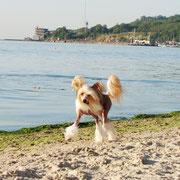 китайская хохлатая собачка Bibiana Vittoria dell Amore Одесса море 2012