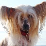 китайская хохлатая собачка Bibiana Vittoria dell Amore Одесса море