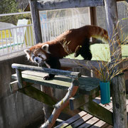 釧路市動物園 レッサーパンダのシンゲン(11月中旬)