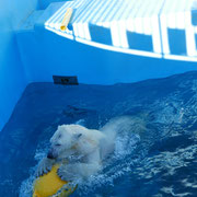 釧路市動物園 ホッキョクグマのミルク(11月中旬)