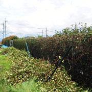 レッドロビン生垣剪定-奈良県香芝市-作業中