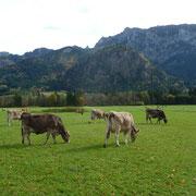 Weide in Füssen