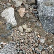 seine Eier sehen aus wie Steine