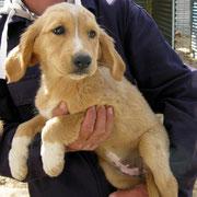 Goldie... Zuhause gefunden in Deutschland