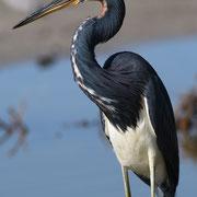 Tricolored Heron, Little Estero Lagoon; Nikon D500 + AF-S 200-400 360mm
