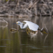 Snowy Egret, Little Estero Lagoon; Nikon D500 + AF-S 200-400 400mm