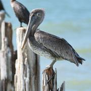 Brown Pelican; Little Estero Lagoon; Nikon D500 + AF-S 200-400 240mm