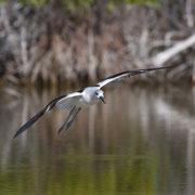American Avocet; Little Estero Lagoon; Nikon D500 + AF-S 200-400 400mm