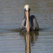Brown Pelican; Little Estero Lagoon; Nikon D500 + AF-S 200-400 400mm