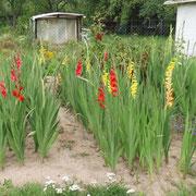 eigener Gladiolenanbau