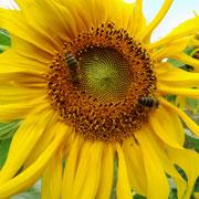 unsere Sonnenblume mit Bienen