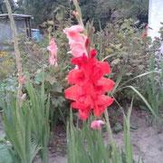 unsere eigenen Gladiolen