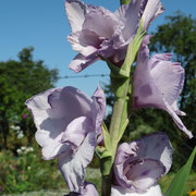 Gladiolen im eigenen Garten
