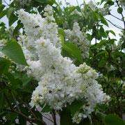 weißer Flieder in unserem Garten