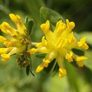 Echter Wundklee (Anthyllis vulneraria)