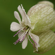 Taubenkropf-Leimkraut (Silene vulgaris)