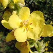 Großblütige Königskerze (Verbascum densiflorum)