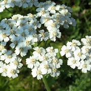 Gemeine Schafgarbe (Achillea millefolium)