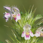 Hohlzahn (Galeopsis) sp