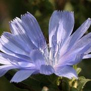 Gemeine Wegwarte (Cichorium intybus)