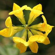 Gewöhnlicher Hornklee (Lotus corniculatus)
