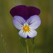 Acker-Stiefmütterchen (Viola tricolor)