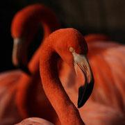 Roter Flamingo  Phoenicopterus ruber ruber