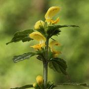 Goldnessel (Lamium galeobdolon)