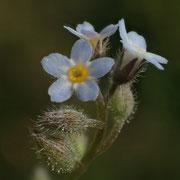 Acker-Vergissmeinnicht (Myosotis arvensis)