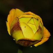 Sibirische Trollblume (Trollius ircuticus)