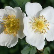 Rispen-Rose (Rosa multiflora)