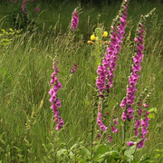 Roter Fingerhut (Digitalis purpurea)