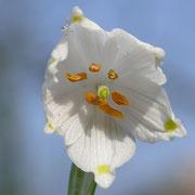 Frühlings-Knotenblume (Leucojum vernum) Märzenbecher