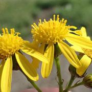 Schmalblättriges Greiskraut (Senecio inaequidens)