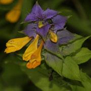 Hain-Wachtelweizen (Melampyrum nemorosum)