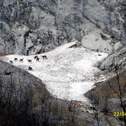 Mit dem Tele aufgenommen..eine Schar Gemsen auf einem Scneefeld im Watzmann Maasiv