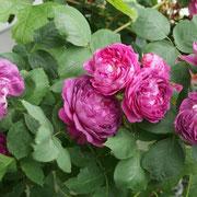 Reine des Violettes 1860 France