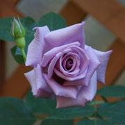 Madame Violet 1992 Japan