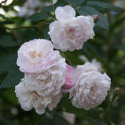 Blush Noisette 1814 USA