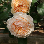 Crown Princess Margareta 1991 UK