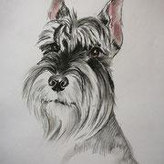 Шнауцер щенок.