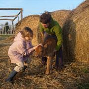 la naissance du veau