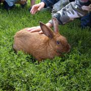 le lapin fauve de Bourgogne