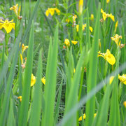 Blühende Iris