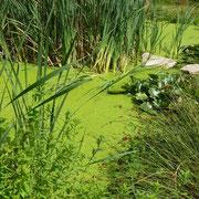 Der Reinigungsteich ist voller grüner Linsen