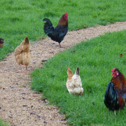 Die Hühnerschar unterwex - hinten Gogo 1, vorne Gogo 3, dazwischen Thobeka, die wilde Hilde und Sahara