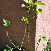Der Feigenbaum gibt Gas und hat schon ganz viele Früchtchen